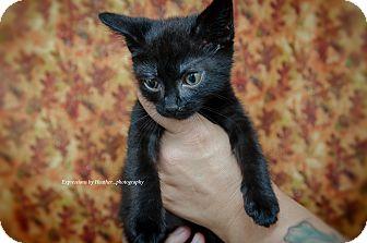 Domestic Shorthair Kitten for adoption in Marlton, New Jersey - Gizmo