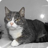Domestic Shorthair Cat for adoption in Orleans, Vermont - Tigger
