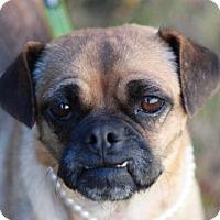 Adopt A Pet :: Tallulah - Danbury, CT