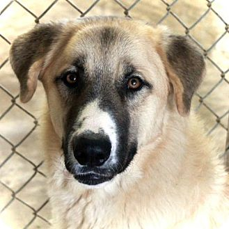 Anatolian Shepherd/Great Pyrenees Mix Dog for adoption in Waco, Texas - Bear