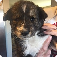Adopt A Pet :: Reagan - Las Vegas, NV
