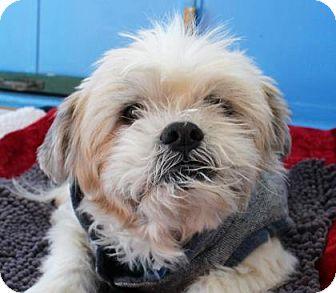 Shih Tzu Mix Dog for adoption in San Francisco, California - Kibble