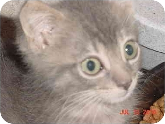 American Shorthair Kitten for adoption in Inverness, Florida - Sally