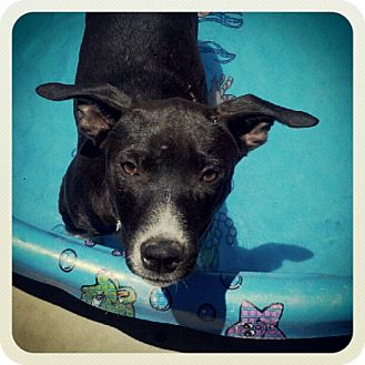Australian Cattle Dog/Pit Bull Terrier Mix Puppy for adoption in Bakersfield, California - Halo