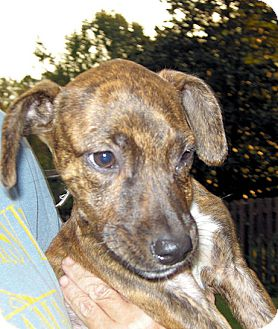 Labrador Retriever Mix Puppy for adoption in Homewood, Alabama - Ellie
