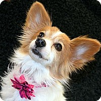Adopt A Pet :: Dolly - Bridgeton, MO