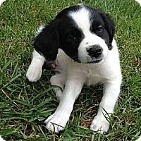 Adopt A Pet :: Millie - Bowie, MD