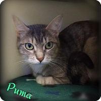 Adopt A Pet :: Puma - Pekin, IL