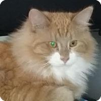 Adopt A Pet :: Pumpkin - Delmont, PA