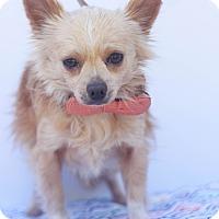 Adopt A Pet :: Nibbler - Loomis, CA