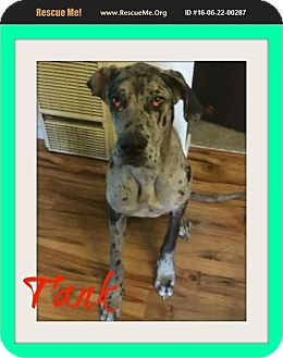 Great Dane Mix Dog for adoption in bullard, Texas - Tank