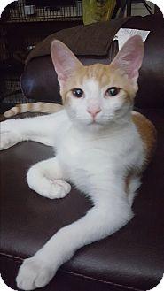 Domestic Shorthair Kitten for adoption in Berkeley Hts, New Jersey - Louie