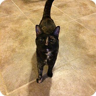 Calico Cat for adoption in oklahoma city, Oklahoma - Snow White