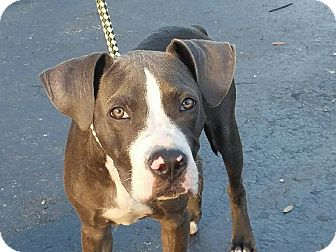Pit Bull Terrier/Labrador Retriever Mix Puppy for adoption in Homestead, Florida - Grayson