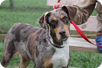 Australian Shepherd Mix Rescue Ohio