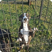 Pit Bull Terrier Dog for adoption in Texas City, Texas - FRANNIE