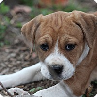 Boxer Mix Puppy for adoption in Glastonbury, Connecticut - Ronja-ADOPTED