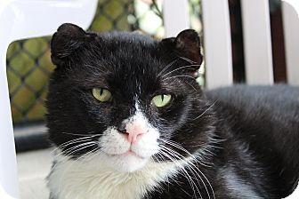 Domestic Shorthair Cat for adoption in Sarasota, Florida - Crinkle