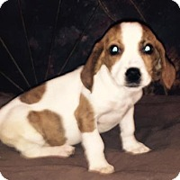 Dachshund/Beagle Mix Puppy for adoption in Waldron, Arkansas - PATTERSON BARKLEY