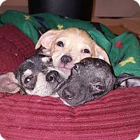 Adopt A Pet :: Nicky - Mount Holly, NJ