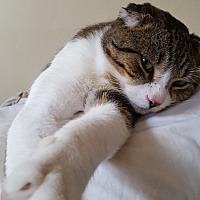 Adopt A Pet :: Taz (FIV+) - Hoffman Estates, IL