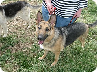 German Shepherd Dog Dog for adoption in Greeneville, Tennessee - Teagan