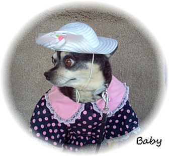 Chihuahua Dog for adoption in Tucson, Arizona - Baby