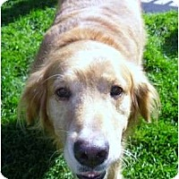 Adopt A Pet :: Brody - Denver, CO