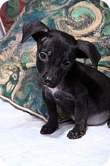 Rat Terrier Mix Puppy for adoption in St. Louis, Missouri - Dawson Terrier