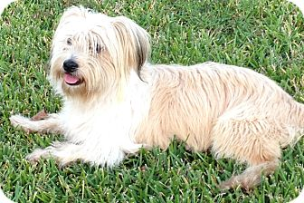 wheaten terrier rescue texas houston tx wheaten terrier terrier unknown type small 5303