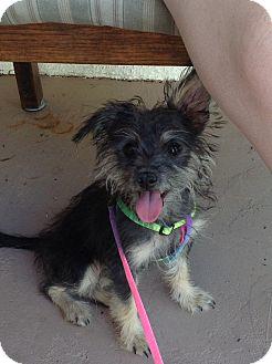 Chandler Az Schnauzer Miniature Yorkie Yorkshire Terrier Mix Meet Savanna A Puppy For