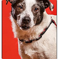 Border Collie/Terrier (Unknown Type, Medium) Mix Dog for adoption in Owensboro, Kentucky - Sunday DRD graduate