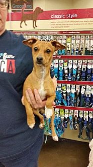 Basenji Mix Dog for adoption in Fresno, California - Rainy