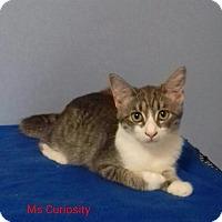 Adopt A Pet :: Ms. Curiosity blue & white - McDonough, GA