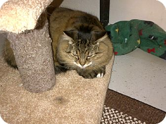 Domestic Mediumhair Cat for adoption in North Kingstown, Rhode Island - Annie