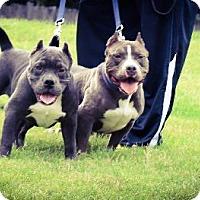 Adopt A Pet :: Buddah - Eugene, OR