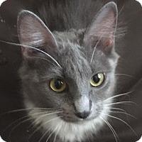 Domestic Mediumhair Cat for adoption in Huntley, Illinois - Darling