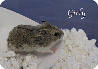Gerbil for adoption in Bradenton, Florida - Girly