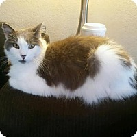 American Curl Cat for adoption in Orange, California - Tullulah Cat