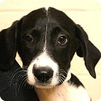 Adopt A Pet :: Peppermint Twist~meet me~ - Glastonbury, CT
