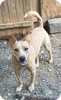 Shiba Inu/Labrador Retriever Mix Dog for adoption in Charlotte, North Carolina - Taco