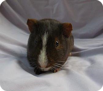 Guinea Pig for adoption in Monrovia, Maryland - Carlton