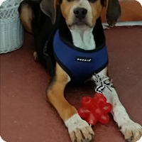 Adopt A Pet :: Hank - Seminole, FL
