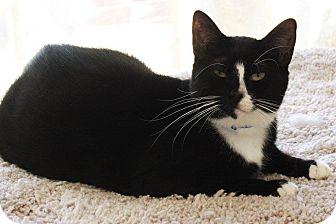 Domestic Shorthair Cat for adoption in Joplin, Missouri - Missy
