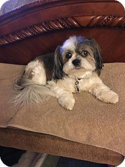 Shih Tzu Dog for adoption in Irmo, South Carolina - Beautiful