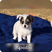 Adopt A Pet :: Apollo - Rosamond, CA