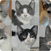 Adopt A Pet :: 6 HURRICANE KITTENS - New Smyrna Beach, FL