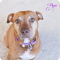 Adopt A Pet :: Rosie Mae - Portland, OR