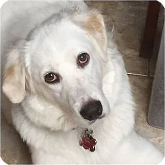 Great Pyrenees Dog for adoption in Kyle, Texas - Louise