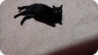 Domestic Shorthair Cat for adoption in Baltimore, Maryland - Lela (COURTESY POST)